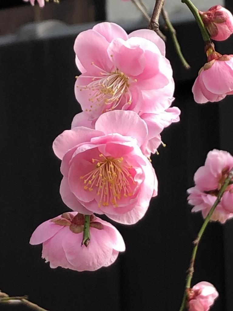 京都祇園で梅開花3