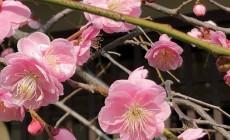 京都祇園で梅開花