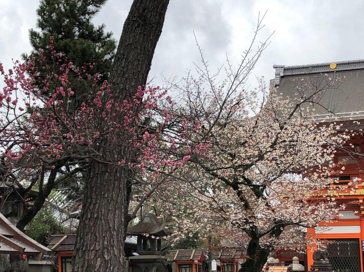 八坂神社桜と梅