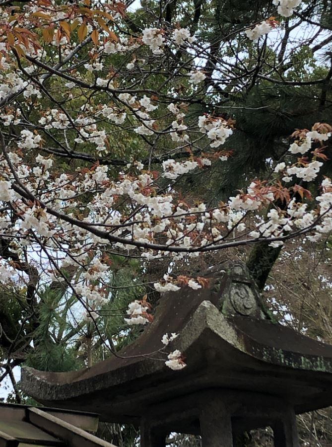 八坂神社桜