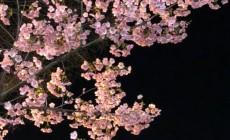 寺町御池の桜2020_1