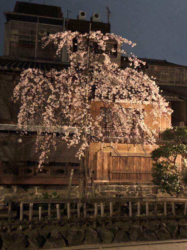 祇園夜桜2020_1