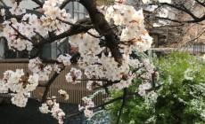 祇園白川の桜2020_2