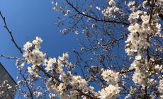 祇園白川の青空の下の桜3
