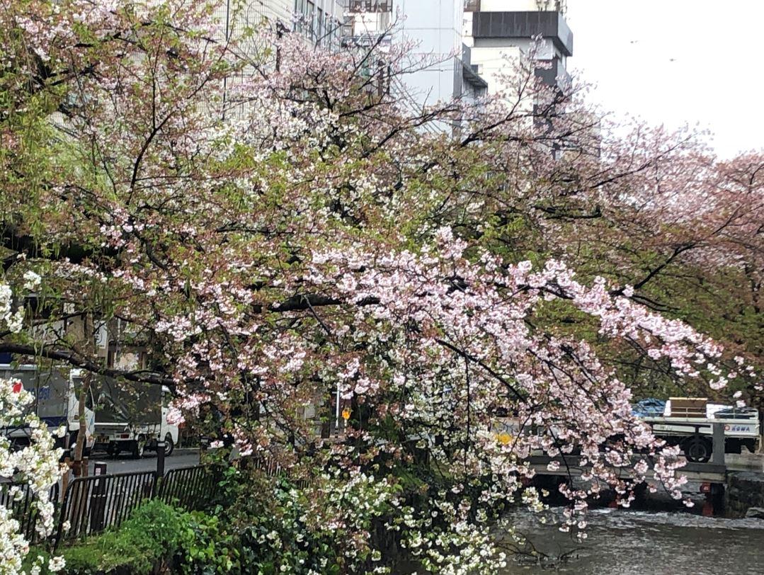 木屋町の桜2020_2