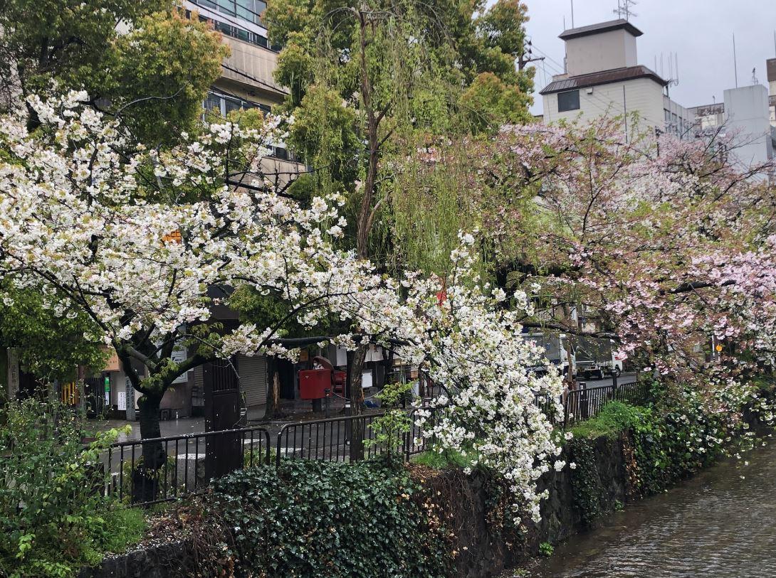 木屋町の桜2020_4
