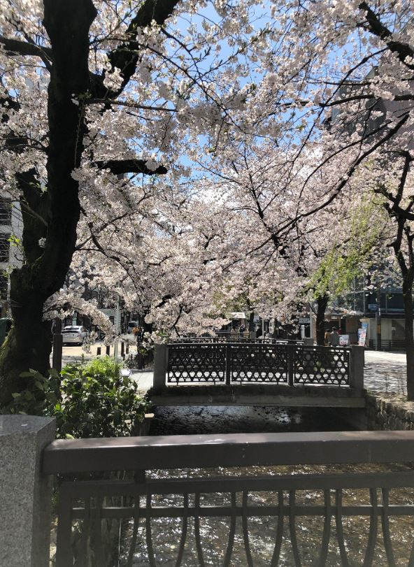 高瀬川の桜1