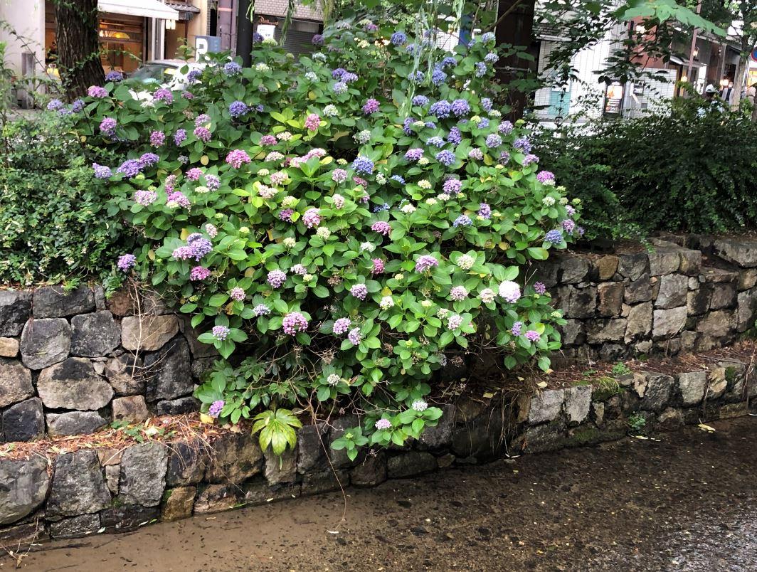 高瀬川の紫陽花1