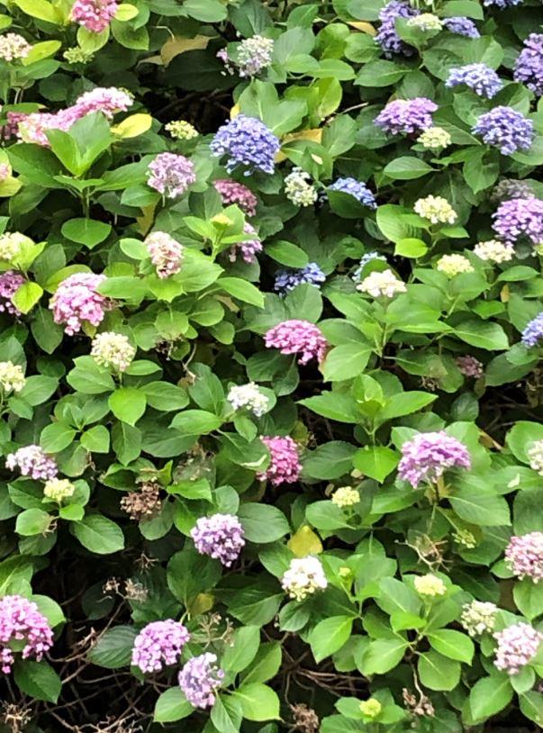 高瀬川の紫陽花2